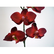 PHALAENOPSIS MINI ROUGE X 12