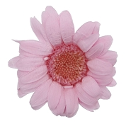 GERBERA MINI ROSE X 12